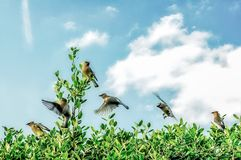 Cedar Waxwings Returning From Southern Migration. Every year the waxwings would return to eat the berries in my back yard Stock Photography