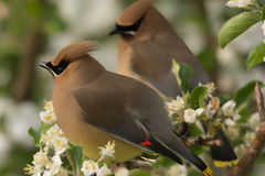 Cedar Waxwings Stock Images
