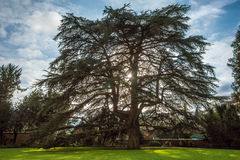Cedar, Weinheim, castle garden Royalty Free Stock Photography