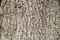 Cedar wood bark Royalty Free Stock Photos