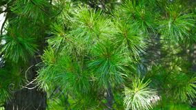The cedar wood - branches of the Siberian cedar stock video