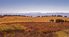 Cedars and birches in Altai valley in autumn Stock Photos