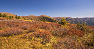 Cedars and birches in Altai valley in autumn Stock Images
