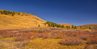 Cedars and birches in Altai valley in autumn Stock Image
