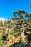 The Cedars of God at Bsharri in Lebanon. Forest of Lebanon cedars at Bsharri - Kadisha valley in Lebanon royalty free stock photos