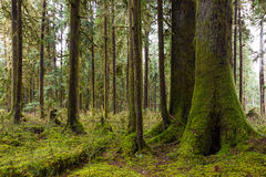 Cedars and Hemlock Royalty Free Stock Photos