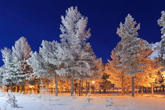 The cedars and larches covered with hoarfrost Stock Image