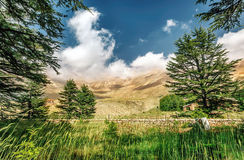Cedars of Lebanon Stock Images