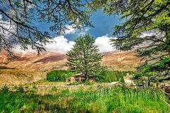 Cedars of Lebanon Royalty Free Stock Images