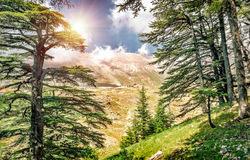 Cedars of Lebanon. Beautiful ancient cedar tree forest in the mountains, amazing Lebanese nature, peaceful landscape of a National Park Reserve, Bsharre Royalty Free Stock Images
