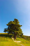 Cedars of Lebanon - Cedrus Libani Royalty Free Stock Image