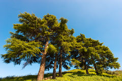 Cedars of Lebanon - Cedrus Libani Stock Photo