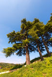 Cedars of Lebanon - Cedrus Libani Stock Photography