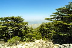 Cedars of Lebanon on the summit ridge of the Shouf Biosphere Reserve mountains, Lebanon. Cedars of Lebanon on the huge Shouf Biosphere Reserve in the Chouf stock image