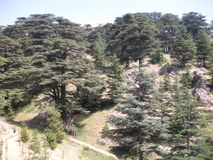 Cedars of Lebanon stock image
