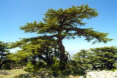 Cedars of Lebanon on the summit ridge of the Shouf Biosphere Reserve mountains, Lebanon. Cedars of Lebanon on the summit ridge of the huge Shouf Biosphere stock photos
