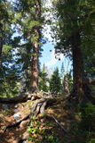 The cedars in the Siberian taiga Royalty Free Stock Photos