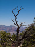 Ceder-Baum am Grand Canyon Stockbild