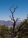 Ceder-Baum am Grand Canyon Stockbild