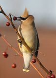 Ceder Waxwing Royalty-vrije Stock Foto's