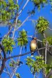 Ceder Waxwing, cedrorum Bombycilla Stock Fotografie