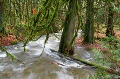 Cederbomen door de wateren van een woedende kreek worden overstroomd die royalty-vrije stock afbeeldingen