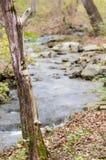Cederboom en kreek Stock Afbeeldingen