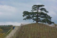 Cederboom van Libanon Een seculaire boom, symbool van La Morra Royalty-vrije Stock Afbeelding