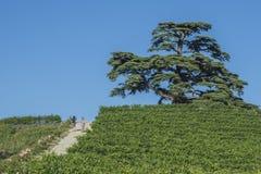Cederboom van Libanon Een seculaire boom, symbool van La Morra Royalty-vrije Stock Afbeeldingen