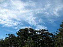 Cederträ av Libanon Royaltyfria Bilder