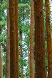 Cederträ loggar in en skogsao miguel azores Royaltyfria Foton