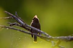 cederträ perched tree som waxwing Royaltyfria Foton