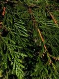 Cederträblad 1 Fotografering för Bildbyråer