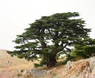 cederträlebanon tree Arkivbilder