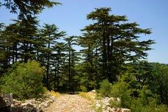 Cederträreserv, Tannourine, Libanon Arkivbild