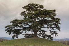 Cederträträd av Libanon Ett sekulärt träd, symbol av la Morra Royaltyfri Foto