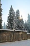 Cederträträd i vinter parkerar Arkivfoto