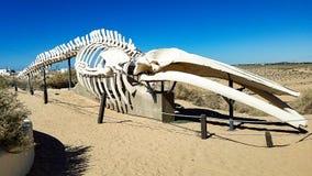 CEDO, centro intercultural para o estudo dos desertos e baleia Skeeton dos oceanos imagens de stock