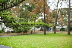 Cedr gałąź w miastowym parku Zdjęcia Royalty Free
