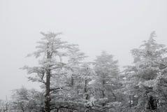 Cedr w zimie obraz stock