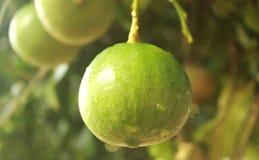 Cedrat owoc wiesza w roślinie [narthankai w tamilu] fotografia stock