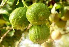 Cedrat owoc wiesza w roślinie [narthankai w tamilu] zdjęcie royalty free