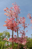 Cedrela sinensis. Or Toona sinensis with its red leaves stock images