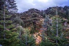 Cedri di Bcharre della foresta 05 di Dio fotografia stock libera da diritti