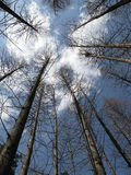 Cedri sotto cielo blu Immagini Stock Libere da Diritti