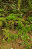 Cedro à terra do sul, área cor-de-rosa das camas, Pisgah N-F foto de stock