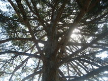 Cedro antiguo en jardín botánico Foto de archivo