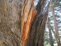 Cedro de Líbano, Cedar Wood Detail foto de archivo libre de regalías