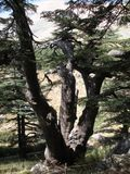 Cedro de Líbano, local libanês do patrimônio mundial imagens de stock royalty free