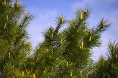 Cedro de las ramas en la primavera fotos de archivo libres de regalías